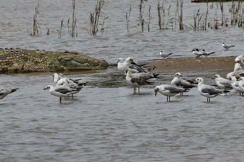 Grey-headed Gulls including a juvenile (I think) showing brown smudges on its neck and wings.