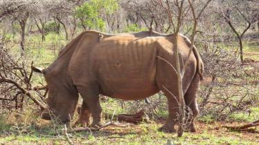 White Rhino with Red-billed Oxpecker