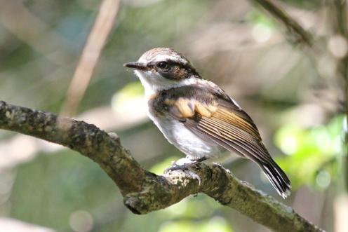 Cape Batis - juvenile