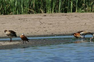 A pair of South African Shelducks - male and female.