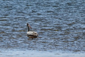 Pink-backed Pelican - from Wilson's Wharf