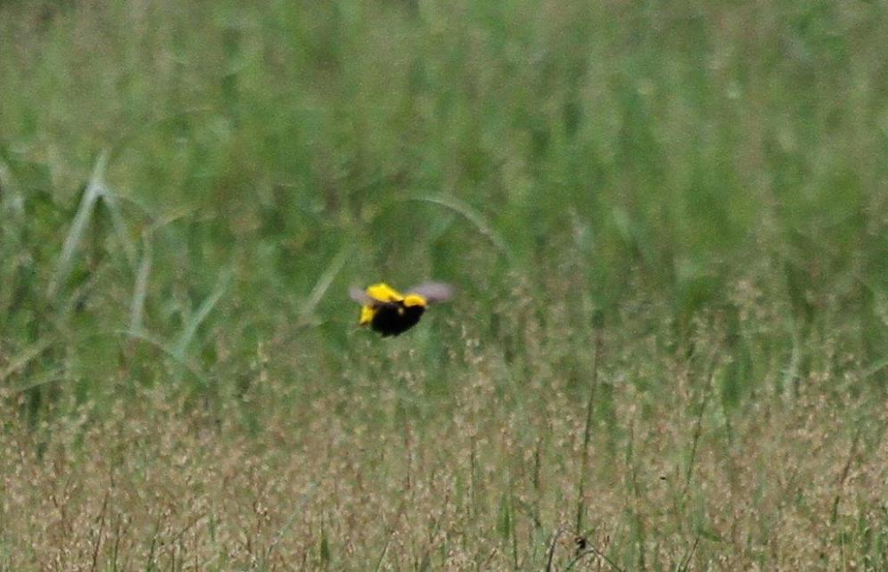 Yellow-crowned Bishop in flight
