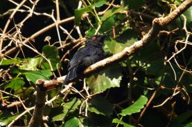 Fork-tailed Drongo. Hennie and Decklan Jordaan