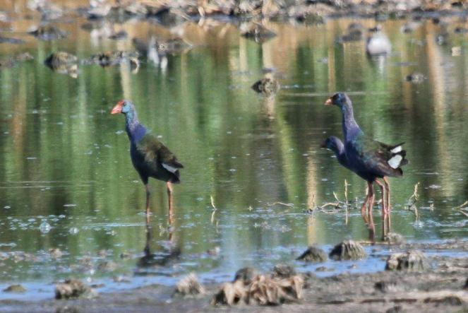 African Purple Swamphens