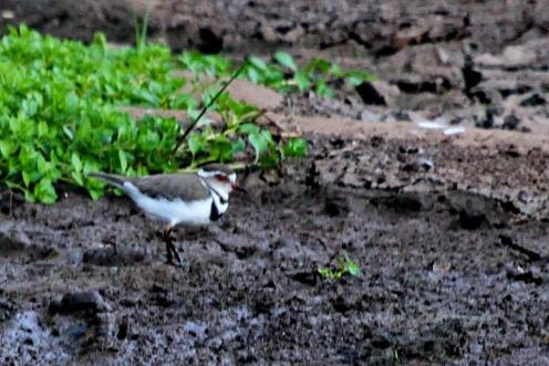 Three-banded Plover in the Garden pond