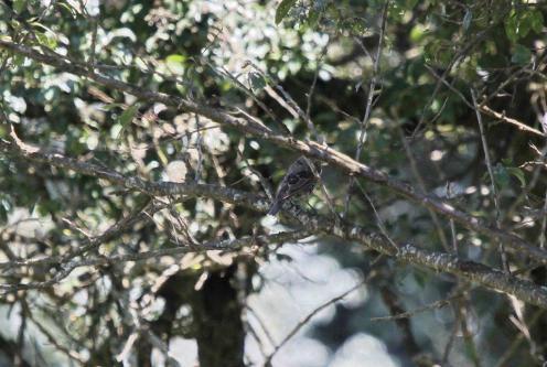 Common (European) Starling