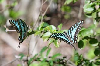 Large Striped Swordtails