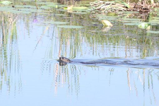 Otter