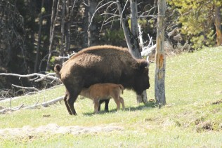 Bison and calf