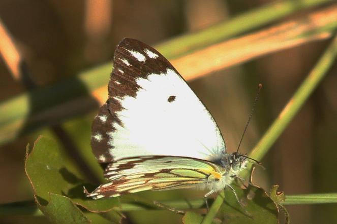 Common White - nice underside colours