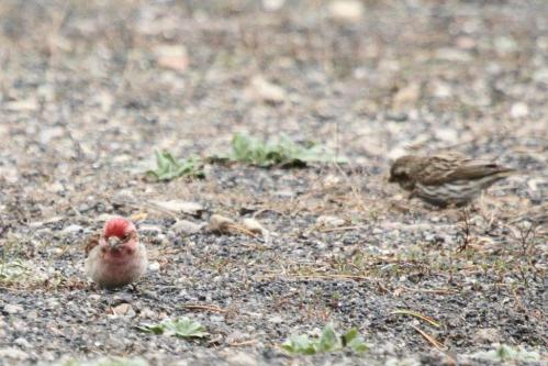 Cassin's Finch - male and female - Yellowstone