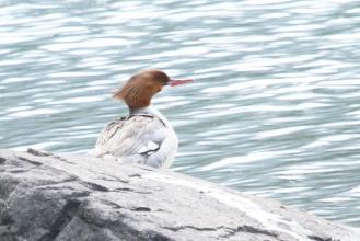 Common Merganser - female