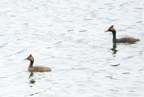 Eared Grebes - male and female