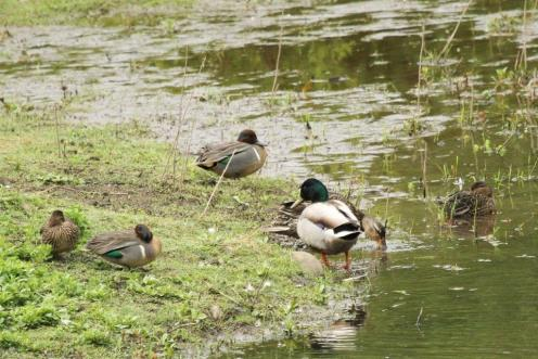 Green-winged Teal and Mallard