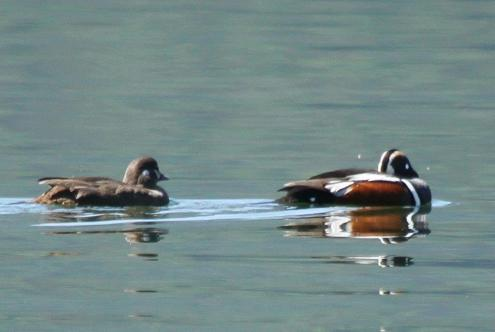 Harlequin Ducks male and female - Bigfork