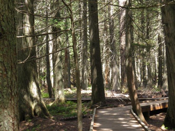 Avalanche boardwalk - Glacier NP