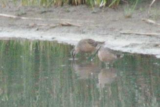 Long-billed Dowitcher -spotted as we raced down the highway at dusk.