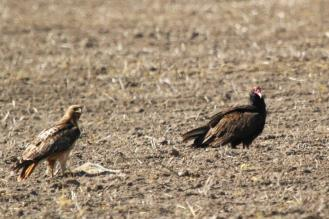 Red-tailed hawk and Turkey Vulture