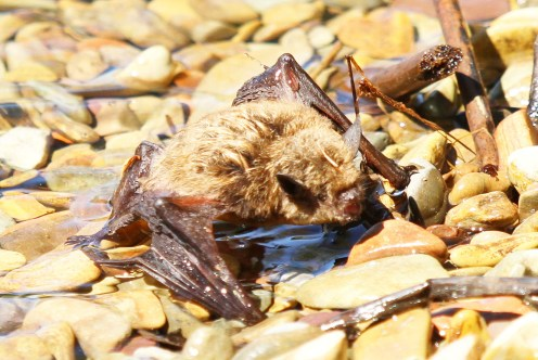 Swimming Bat- took a bath in the lake and swam out.