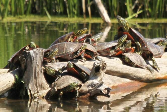 A melee of turtles