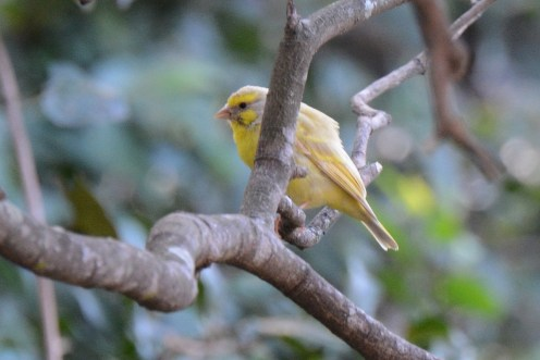 Partially leucistic Yellow-fronted Canary (Crithagra mozambicus) - Dave Rimmer