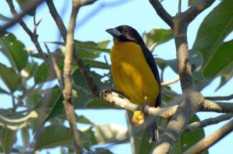 Dark-Backed Weaver (Ploceus bicolor) - Dave Rimmer