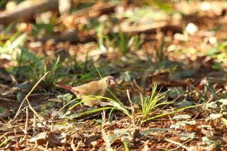 Red-billed Firefinch - PB