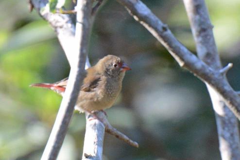 Red-Billed Firefinch (Lagonosticta senegala) Female - Dave Rimmer