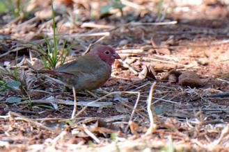 Red-Billed Firefinch (Lagonosticta senegala) Male - Dave Rimmer