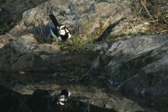 African Pied Wagtail - in reflection - PB