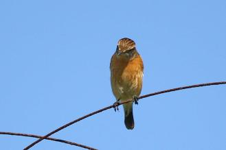 African Stonechat - female - PB