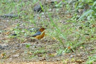 Red-capped Robin-Chat - PB