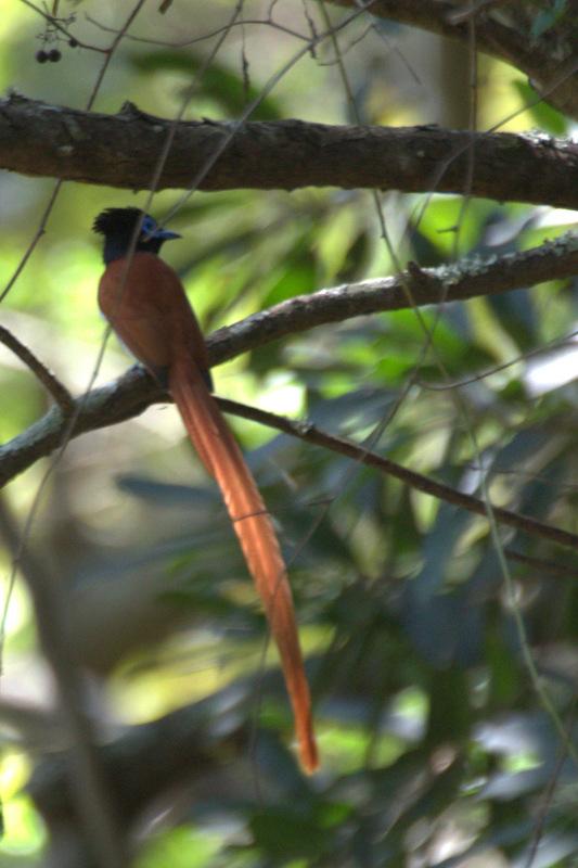 African Paradise-Flycatcher -John Bremner