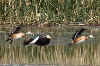 African Pygmy-Geese