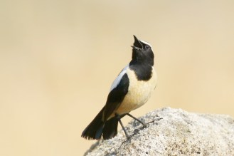 Buff-streaked Chat - male