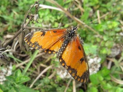 Butterfly Small Orange Acraea Sandi du Preez