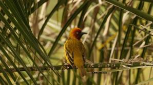 Cape Weaver - Mike Jackson