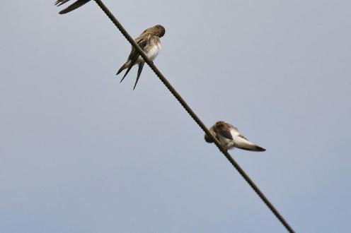 Common House-Martins