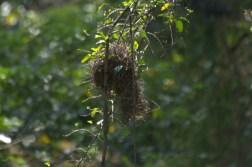Dark-backed Weaver's nest -John Bremner