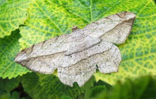 Moth Oblique Peacock - Sandi du Preez