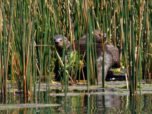 Otters - Hennie Jordaan