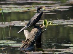 Reed Cormorant by Hennie Jordaan