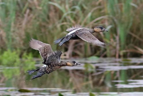 White-backed Ducks in flight showing their finery.
