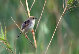 Cisticola - Red-winged