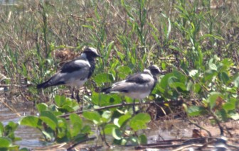Blacksmith Lapwings