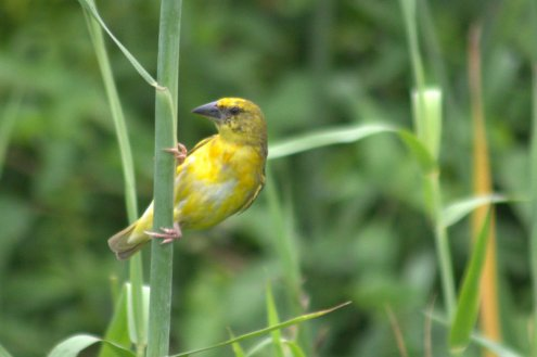 Female Cape Weaver