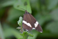 White Bear Moth
