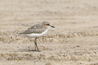 Red-capped Plover -juvenile