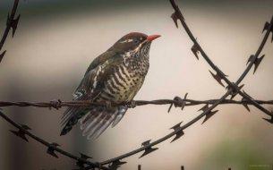 Diederik Cuckoo (Ryan Ramsamy)