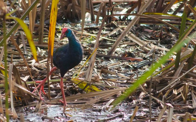 Purple Swamphen (Ryan Ramsamy)